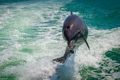 Happiness (Nedko Nedkov) Tags: dolphin wildlife florida usa marco island