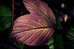 Blackberry Leaf (shidoxy) Tags: blackberry leaf spring sun home benthe nikon frühling macro hannover