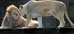 I Love You (Daphne-8) Tags: lion löwe white weiss wildlife katze cat animal raubtier predator zoo lioness löwin love liebe kiss küss ear ohr affection