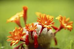 Cactus (7) (Vlachbild) Tags: cactus plants germany europe environment trier pfalzel rhinelandpalatinate sonystf135mmf28t45 sonyslta99 hutkaktus