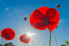 Piste d'atterrissage (Philippe POUVREAU) Tags: insect jardin bee bumblebee poppy poppies abeille insecte coquelicot 2014 bourdon loireatlantique saintbrévin paysderetz canon7d saintbrevinlespins
