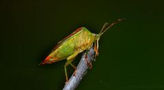 Bellenblazen.... (John de Grooth) Tags: macro insect ngc npc d200 insecten kleurrijk 180mm d200sigma sigma180mm schildwants elasmostethusinterstinctus berkenschildwants macrod200 sigma180mmf35exdgapoifmacrohsm