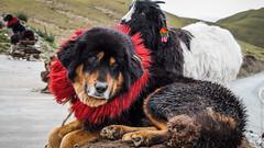 Тибеский мастиф