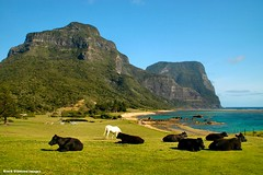 View Over Lovers Bay, Salmon Beach, Mt Lidgbird & Mt Gower From Near Capella Lodge, Lord Howe Island, NSW (Black Diamond Images) Tags: ocean horse mountain island cattle cows scenic australia nsw reef lordhoweisland worldheritagearea salmonbeach blackcows mountlidgbird mountgower mtgower mtlidgbird thelastparadise loversbay