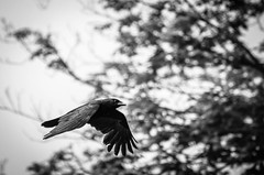 Crow in flight (.Chris Lee) Tags: life trees blackandwhite bw white motion black tree bird nature monochrome leaves birds animal animals outside outdoors flying leaf wings nikon midwest branch natural wildlife branches flight wing beak feathers feather monochromatic iowa telephoto midair crow grayscale flapping 70300mm tamron airborne avian greyscale dx avians nikondx tamron70300mm d7000 nikond7000