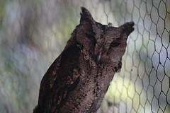 (ddsnet) Tags: bird birds zoo sony hsinchu taiwan 99 raptor  slt birdofprey      sinpu hsinpu  zoobird     singlelenstranslucent 99v