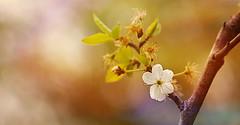 Flower (Caucas') Tags: mgkafkas sinop türkiye karadeniz blacksea spring flower çiçek bahar meyve fruit warm nikon nikkor 35 mm 18 g d7000 35mm18g kafkas caucas apple green red balck sea flora elma turkey turkei