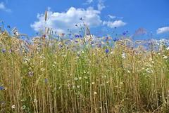 Sommer - Summer (ivlys) Tags: blue summer sky white nature field barley clouds landscape sommer feld himmel wolken blau kamille cornflower bluebottle kornblume chamomile odenwald gerste weis neutsch centaureacyanus ivlys