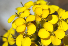 Bright Yellow Sierra Wallflower (Life_After_Death - Shannon Day) Tags: life california flowers plants mountain plant mountains flower detail art beautiful yellow wall closeup canon botanical photography eos death gold petals day bright vibrant nevada meadow meadows images sierra petal shannon license getty mustard after wildflowers dslr botany wildflower canondslr canoneos gettyimages wallflower lifeafterdeath 50d shannonday canoneos50d canon50d canon50ddslr canon50deos canoneos50ddslr canoneod50ddslr canondsler lifeafterdeathstudios lifeafterdeathphotography shannondayphotography shannondaylifeafterdeath
