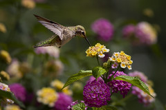 Licking Lantana (Patricia Ware) Tags: california canon ngc npc handheld annashummingbird playadelrey calypteanna specanimal avianexcellence sunrays5 ©2014patriciawareallrightsreserved