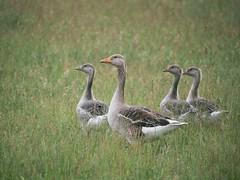 Greylag geese / Grauwe ganzen (Bart-Jan Verhoef) Tags: texel greylaggeese grauweganzen