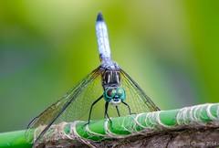 Blue Dasher Oblisking (cclontz) Tags: blue georgia nikon dragon dragonfly dasher coolingoff odonata  libel   vka yusufuk vilinkonjic   d7000 oblisking  conchunchun