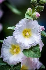 Flower (stephanrudolph) Tags: plant flower nature germany deutschland nikon europa europe handheld bielefeld 70200mm 70200mmf28gvr 70200mmvr d700