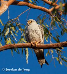 Grey Falcon.jpg (Jordan de Jong) Tags: bird nature flickr australia raptor westernaustralia pilbara greyfalcon jordandejong