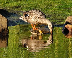 Hey Ma....... (l_dewitt) Tags: nature waterfoul americanblackduck mallard northeast birdwatching birdwatcher blackduck nikonphotos naturephotos nikonimages waterfoulimages
