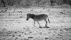 DSC_1737 (krayzie_wp) Tags: africa nature nikon south reserve sigma naturallight zebra 70300mm pilansberg d3100