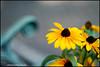 rikenon50 flower bokeh (ChristianRock) Tags: nature garden 50mm pentax bokeh 50mmf14 rikenon ricoh50mmf14 rikenon50mmf14 k20d pentaxk20d rikenonxr50mmf14