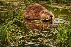 Contentment (Jeff Clow) Tags: wild nature bravo natural feeding eating wildlife beaver contentment grandtetonnationalpark schwabacherlanding jacksonholewyoming wildbeaver jeffclowphototours