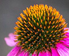Echinacea (Pauline Brock) Tags: flower macro echinacea flowermacro