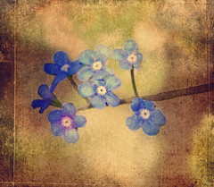 Golden Textured Forget-Me-Nots (~Jeannine~) Tags: flowers blue flower texture spring textures forgetmenot ie textured texturing myosotis forgetmenots magicunicornverybest magicunicornmasterpiece