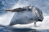 Incredible Humpback Whale Breach (Sea World Whale Watch) Tags: brisbane dolphins queensland whales seaworld humpbackwhale breaching whalewatching goldcoast seaworldwhalewatch