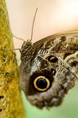 Tropical Butterfly (mellting) Tags: butterfly insect nikon flickr sweden stockholm insekt platser fjrilshuset fjril tropicalbutterfly nikkor5018 500px bloggad nikond7000 mellting matsellting andrastder