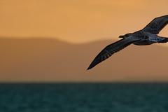 Il volo del gabbiano, Follonica, Toscana. (william eos) Tags: tramonto mare gabbiano follonica sigma150500mmf563apodgoshsm williamprandi toscana2014