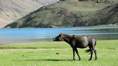 Spitian Mare at Chandrataal Lake (pranav_seth) Tags: horse india mountain lake mare himachal spiti cobalt himachalpradesh chandratal chandratallake spitianhorse