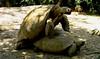 Turtle Desertica (copito_m) Tags: naturaleza color nature animal nikon animales mywinners abigfave aplusphoto absolutelyperrrfect