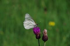 Baumweißling (Aah-Yeah) Tags: white black butterfly bayern schmetterling achental veined chiemgau aporia crataegi tagfalter baumweisling