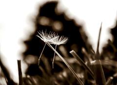 Dandelions (M$ingh.) Tags: flower macro sepia season botanical flora nikon couple happiness monotone dandelion together