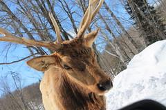 Omega 35 (Fred_514) Tags: canada animals canon quebec moose deer parcomega eosrebel montebello omegapark animalsonflickr