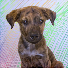 Matthew the Adoptable (Immature Animals) Tags: arizona dog color cute work puppy square fur eyes flickr tucson matthew adorable ears az canine marshall line pima derek doodle pup brindle volunteer shoulder squared petco snout facebook petfinder pacc petcofoundation instagram