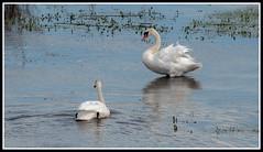 Lac du Der - Cygnes en couple (Guenever45) Tags: eau champagne lac migration cygnes oiseaux marne lacduder