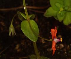 8-16-14 Scarlet Pimpernel Anagallis arvensis, (3) (Ben Grader) Tags: england plant flower macro closeup leaf stem weed view sony picture seed somerset scene tamron stalk wessex anagallisarvensis scarletpimpernel dioptre dioptres slta77