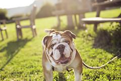 4K4A2775 (maytetxu) Tags: dog puppy review bulldog perro cachorro lengua tonngue
