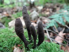 Dead man's fingers (Kniphofia) Tags: fungus xylaria
