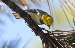 CA: Hermit Warbler (donna lynn) Tags: california birds nikon sangabrielmountains 2014 losangelescounty warblers passeriformes d7100 setophagaoccidentalis hermitwarblers pariludae