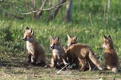 Group of trouble (Seventh day photography.ca) Tags: ontario canada spring wildlife fox kits wildanimal kit predator redfox 2014
