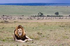 Ceaser - Member of the Notch Boys clan (matthew.scerri) Tags: travel kenya wildlife lion bigcat mara maasai 2014 maasaimara