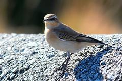 Wheatear (Shaun>d) Tags: wildlife isleofman smallbirds wheatear nikon300mmf4 shaund d300s nikon17tc