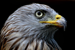 Red Kite Portrait (Dave Brotherton Photography) Tags: portrait nature birds animal wildlife raptors avian birdsofprey redkite greatphotographers