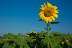 Sunflower - Girasole (#helloelisagabriel) Tags: hello sky white black green colors yellow landscape photo nikon istockphoto cielo da sunflower mm 50 istock fare girasole elisa girasoli 18105 2014 d7100 elisagabriel gabbrielleschi helloelisagabriel yuzaphoto