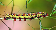 Banded Sphinx Moth Caterpillar (Brody J) Tags: