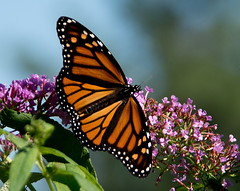 Monarch Butterfly (Ruthie Kansas) Tags: