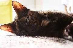 luna (ambeizzi) Tags: pet cute cat feline kitty fluffy ears luna aww pussycat moggy kittycat