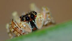 Araña Saltarina (iohandesign) Tags: jumper fujifilm araña jumpingspider izaguirre salticidae arañasaltadora arañasaltarina iohandesign fujifilmxs1 sebastianizaguirre