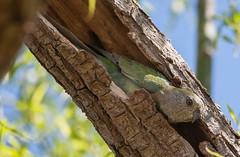 red-rumped parrot (Psephotus haematonotus)-3 (rawshorty) Tags: birds australia canberra act jerrabomberrawetlands rawshorty