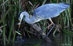 grey heron with fish (Artefax Jericho) Tags: fish heron belgium belgi vis reiger greyheron blauwereiger averbode