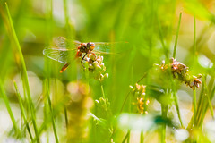 Ruby Meadowhawk In A Sea Of Grass (raypainter) Tags: macro fall canon outdoors dragonfly bokeh wildlife insects darter odonata rubymeadowhawk sympetrumrubicundulum meadowhawk ef100mm lafayettecolorado coalcreektrail ef20028l eos70d